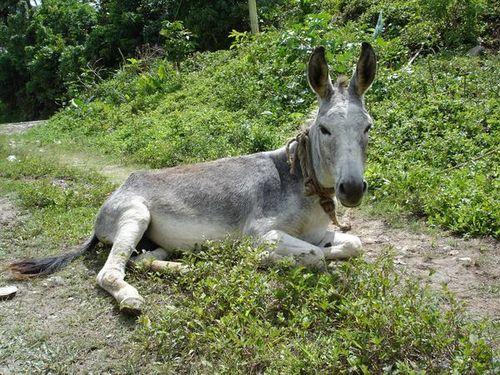 121474-jamaican-donkey-0