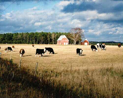 Grazing_cattle